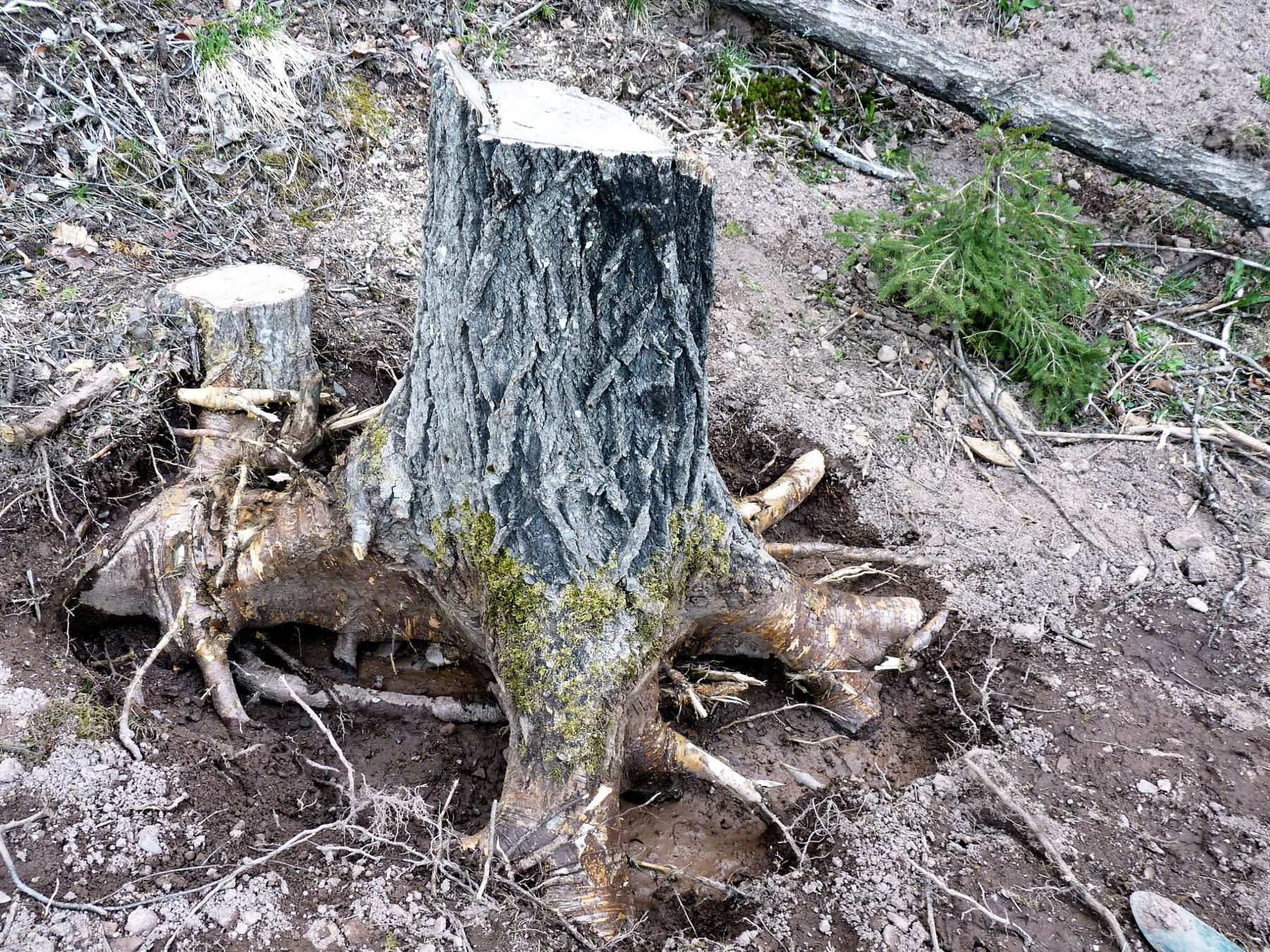 Stihl MS 271 vs poplar stump