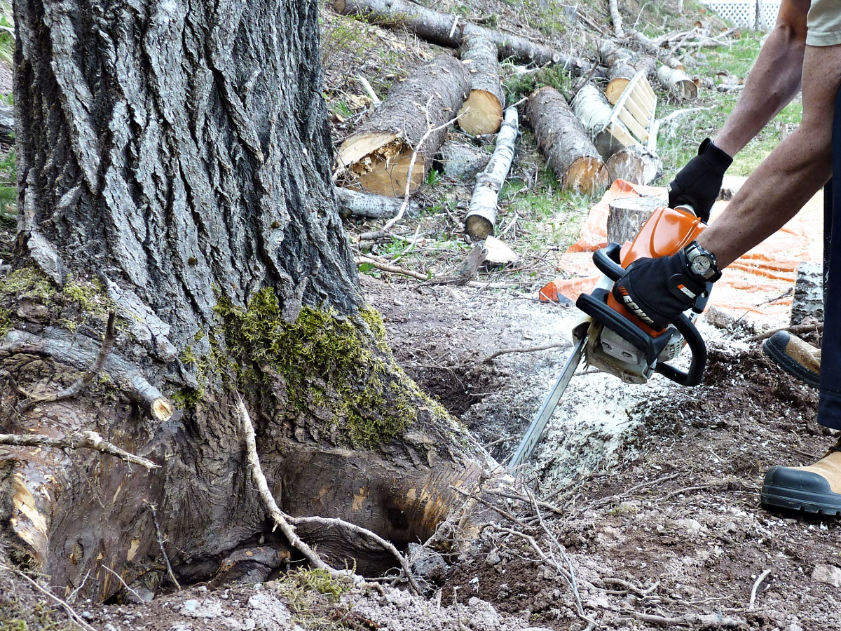 Stihl MS 271 cutting Poplar stump